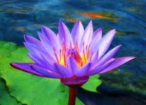 Lotus Flower by Starfire 013